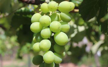зелёный, виноград, фрукты, размытость, растение, лоза, кустарник