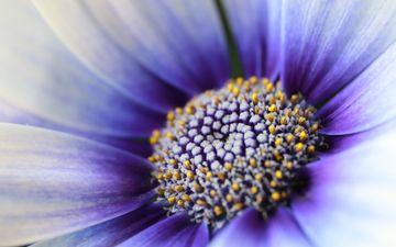 цветок, лепестки, пыльца, гербера, маргаритка, крупным планом, сине-белый