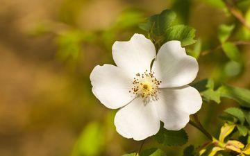 nature, flower, petals, white, blur, spring, briar, bokeh