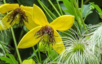 цветы, желтые, крупным планом, клематис, ломонос