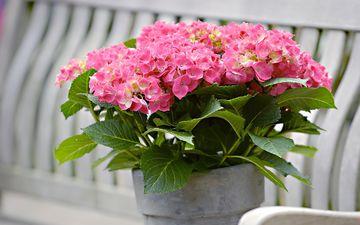листья, цветок, лепестки, растение, соцветия, гортензия