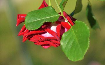 природа, листья, цветок, роза, лепестки, размытость, бутон, боке