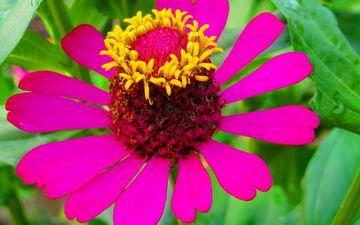 природа, листья, макро, цветок, лепестки, циния