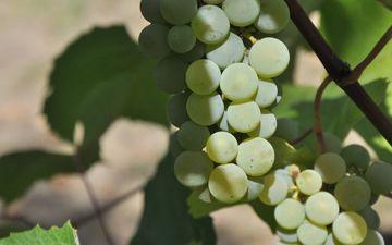 листья, зелёный, виноград, фрукты, растение, урожай