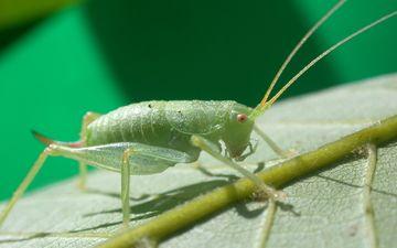 природа, макро, насекомое, лист, кузнечик, крупным планом