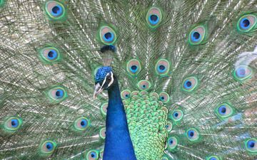 птица, клюв, павлин, перья, хвост