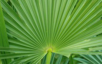 природа, листва, лист, пальма, макросъемка