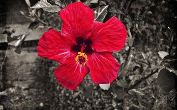 земля, природа, цветок, лепестки, красный, гибискус