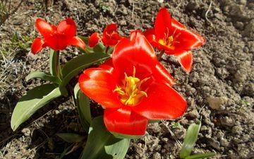 земля, природа, цветок, лепестки, красный, растение, тюльпан