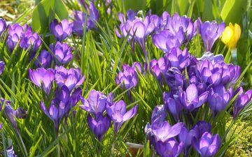 цветы, трава, природа, бутоны, лепестки, луг, весна, крокусы, крокус