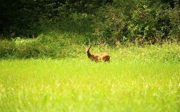трава, природа, лес, олень, луг, животное, лужайка, косуля