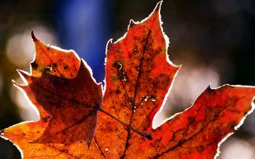 nature, frost, autumn, sheet, cold, maple, maple leaf