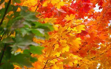 природа, дерево, листья, осень, клен, кленовый лист