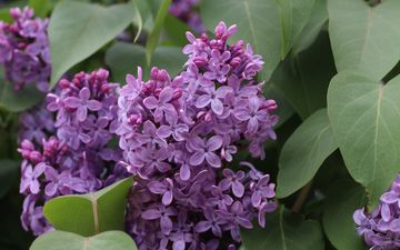 nature, flowering, leaves, macro, spring, lilac, inflorescence