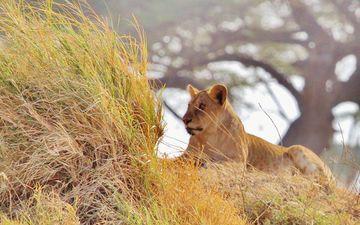 трава, природа, африка, животное, лев, львица, саванна, прерия, млекопитающее