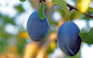 nature, fruit, bokeh, drain, prunes
