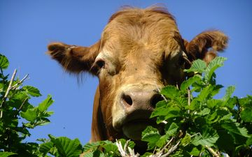 face, the sky, leaves, branches, cow