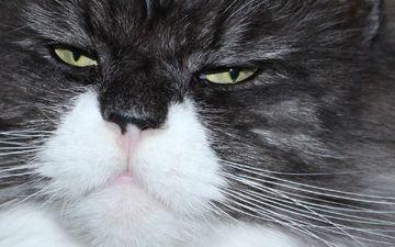 глаза, фон, кот, мордочка, усы, кошка, взгляд, крупным планом