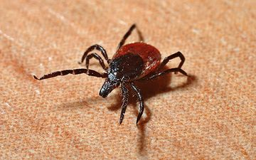 insect, background, legs, mites, tick