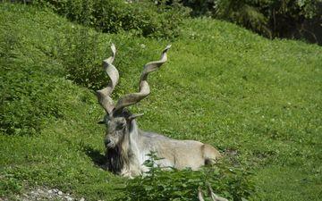 трава, природа, луг, животное, рога, млекопитающее, горный козел, козерог, ибекс, альпийский козерог, орный козёл