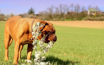 flowers, grass, dog, meadow, lawn, dogue de bordeaux, french mastiff