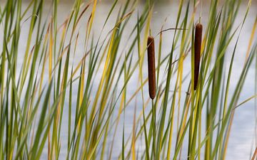 grass, stems, plant, the reeds, reed