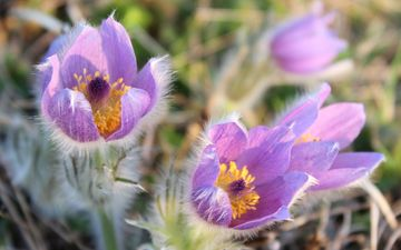 flowers, macro, petals, spring, primrose, sleep-grass, cross