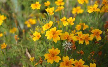 цветы, лепестки, желтые, полевые цветы