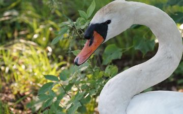 природа, птица, лебедь, шея