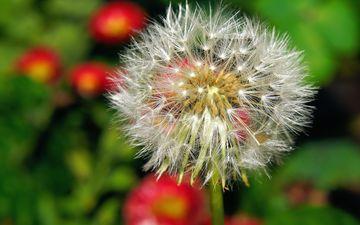 flower, dandelion, seeds, fuzzes, blade