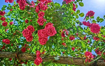 цветы, цветение, лето, розы, сад, куст