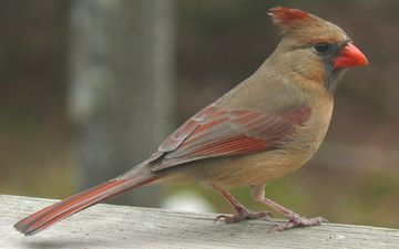 природа, птица, кардинал, красный кардинал, самка