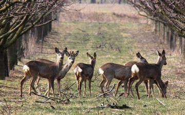 природа, весна, олени, косуля, косули