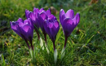 flowers, grass, petals, spring, stems, crocuses