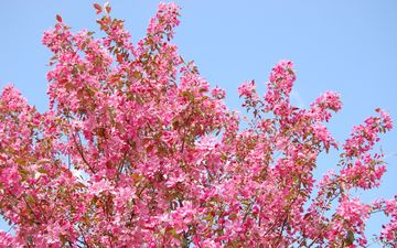 the sky, flowers, nature, tree, flowering, branches, spring
