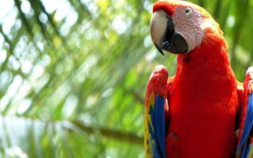 птица, клюв, перья, попугай, ара