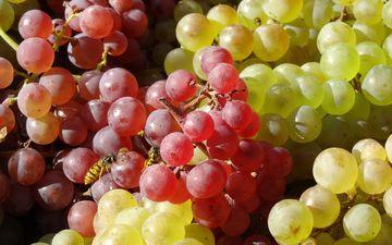 зелёный, насекомое, виноград, фрукты, красный, оса, грозди
