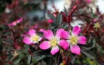 цветы, лепестки, шиповник, розовые, куст