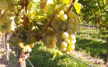 виноград, фрукты, растение, кустарник, виноградная лоза, виноградник