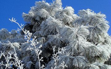 snow, tree, needles, winter, frost, spruce, plant, cold, fir