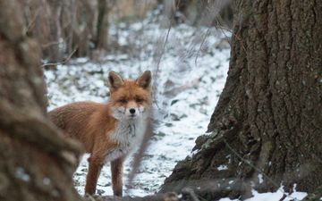face, trees, snow, nature, forest, winter, fox