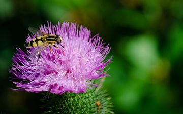 nature, macro, insect, flower, wings, plant, fly, bokeh, gorzalka, thistle
