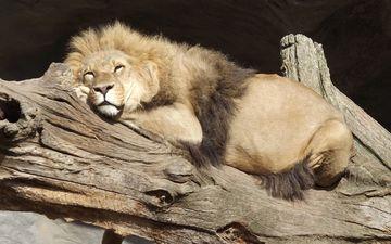 морда, дерево, сон, хищник, лев, грива, зоопарк