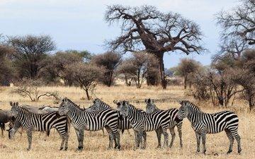 зебра, животные, африка, стадо, саванна