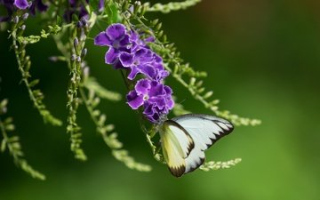 insect, background, butterfly, wings, purple flowers, duranta