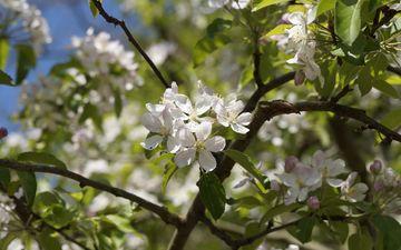 цветы, природа, дерево, цветение, листья, весна, яблоня