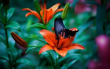 flowers, buds, macro, insect, butterfly, wings, lily, tiger lily
