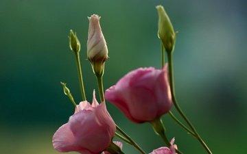 flowers, buds, macro, background, stems, eustoma