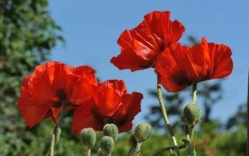 небо, цветы, бутоны, макро, лепестки, красные, маки