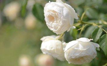 бутоны, макро, розы, боке, белые розы